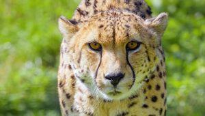 Превью обои гепард, животное, взгляд, хищник, дикая природа