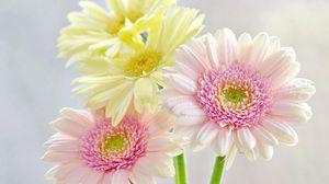 Превью обои герберы, цветы, букет, капли, свежесть, нежность