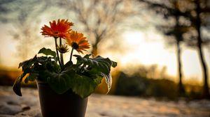 Превью обои герберы, цветы, природа, вечер, закат, снег, горшок