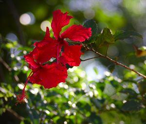 Превью обои гибискус, цветы, красный, растение