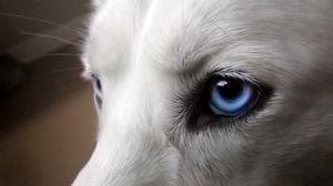 Превью обои глаза, собака, голубоглазый, шерсть