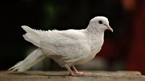 Превью обои голубь, белый, птица