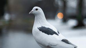 Превью обои голубь, птица, белый, размытость