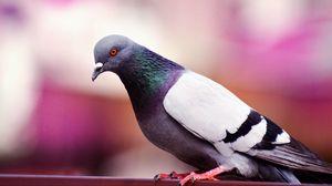 Превью обои голубь, птица, окрас