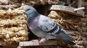 Превью обои голубь, птица, сидеть, голубятня