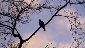 Превью обои голубь, птица, ветка, небо