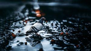 Превью обои голубь, птица, вода, размытость, блики