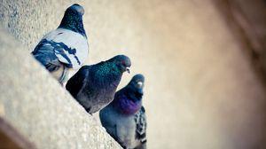 Превью обои голуби, птица, окрас
