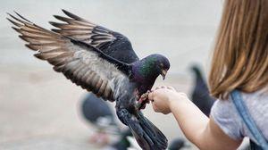 Превью обои голуби, птицы, кормление, взмах