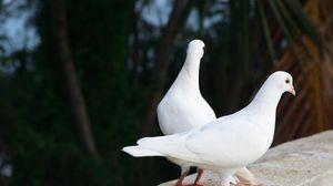 Превью обои голуби, птицы, пара, белоснежные