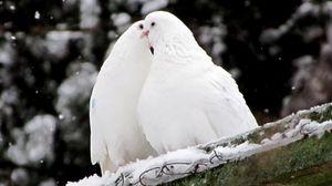 Превью обои голуби, птицы, перья, снег