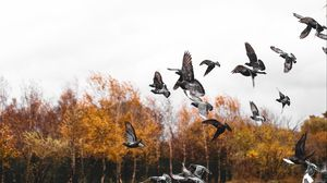 Превью обои голуби, птица, стая, полет