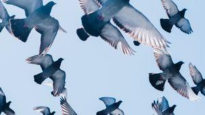 Превью обои голуби, птицы, полет, небо