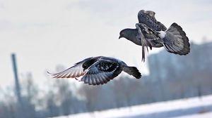 Превью обои голуби, зима, птицы, полет