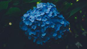 Превью обои гортензия, голубой, соцветия, листья, куст, размытость