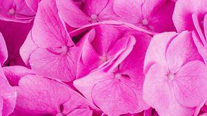 Превью обои гортензия, розовый, соцветия, лепестки