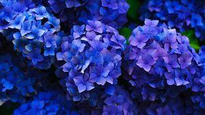 Превью обои гортензия, соцветия, цветение, клумба, сад