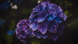 Превью обои гортензия, цветы, фиолетовый, соцветие, макро