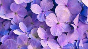 Превью обои гортензия, цветы, лепестки, фиолетовый