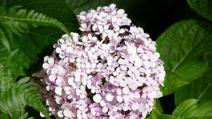 Превью обои гортензия, цветы, лепестки, листья, розовый, макро