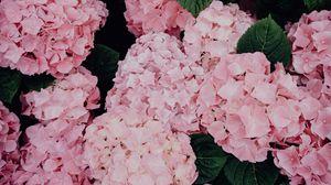 Превью обои гортензия, цветы, розовый, соцветия, цветение