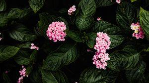 Превью обои гортензия, цветы, розовый, куст, растение