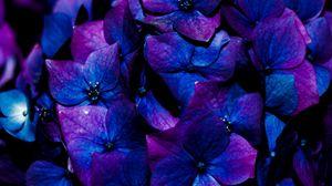 Превью обои гортензия, цветы, соцветие, синий, цветение