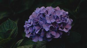 Превью обои гортензия, цветы, соцветия, фиолетовый, темный