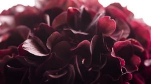 Превью обои гортензия, цветок, крупным планом