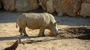 Превью обои грязь, носорог, жираф, заповедник