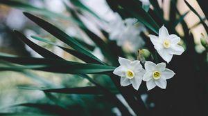 Превью обои нарциссы, цветы, белый, размытость
