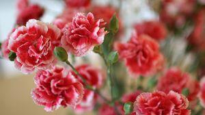 Превью обои гвоздики, цветы, кустовая, резкость