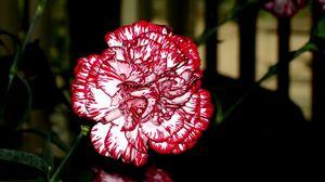 Превью обои гвоздики, цветы, пестрые, крупный план