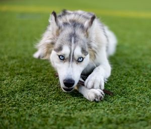 Превью обои хаски, собака, питомец, игра