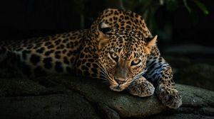 Превью обои хищник, леопард, взгляд, камень, отдых