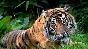Превью обои хищник, тигр, взгляд, лежать, трава