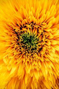 Превью обои хризантема, желтый, лепестки, бутон
