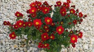 Превью обои хризантемы, цветы, красные, камни