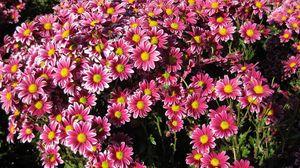 Превью обои хризантемы, цветы, много, сад, солнечно