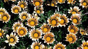 Превью обои хризантемы, цветы, яркие, полосатые, клумба