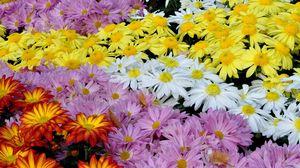 Превью обои хризантемы, цветы, яркие, разнообразие, множество