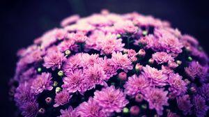 Превью обои хризантемы, цветы, букет, пурпурный, цветение