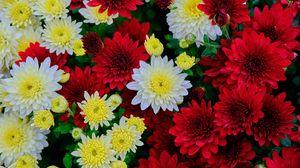 Превью обои хризантемы, цветы, цветение, белый, красный, желтый