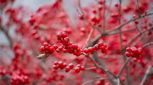 Превью обои ягода, красный, ветка