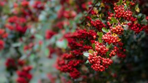 Превью обои ягода, рябина, красный, листья, ветка