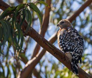 Превью обои ястреб, птица, ветки, дикая природа