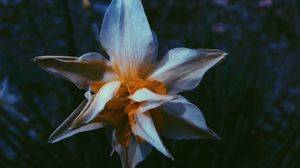 Превью обои нарцисс, цветок, белый, лепестки, макро