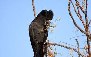 Превью обои какаду, птица, ветки, ягоды, дикая природа