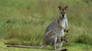 Превью обои кенгуру, детеныш, поле, трава