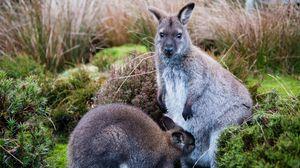 Превью обои кенгуру, детеныш, трава, забота, животные